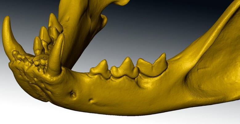 feline skull 3d scan close up
