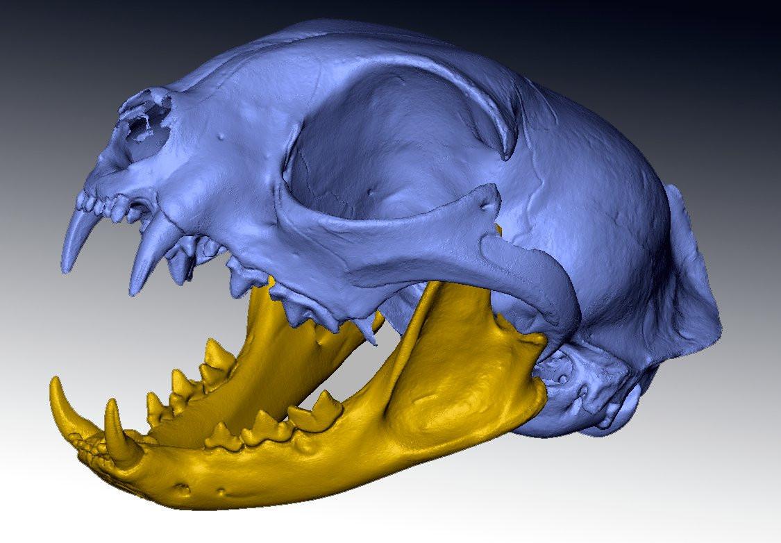 feline skull 3d scan