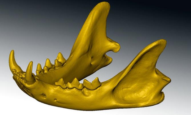 feline skull 3d scan close up 1