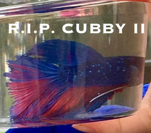This is actually Cubby I.  We don't even have a picture of Cubby II.  What kind of fish parent monsters are we?!