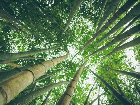 La légende du bambou