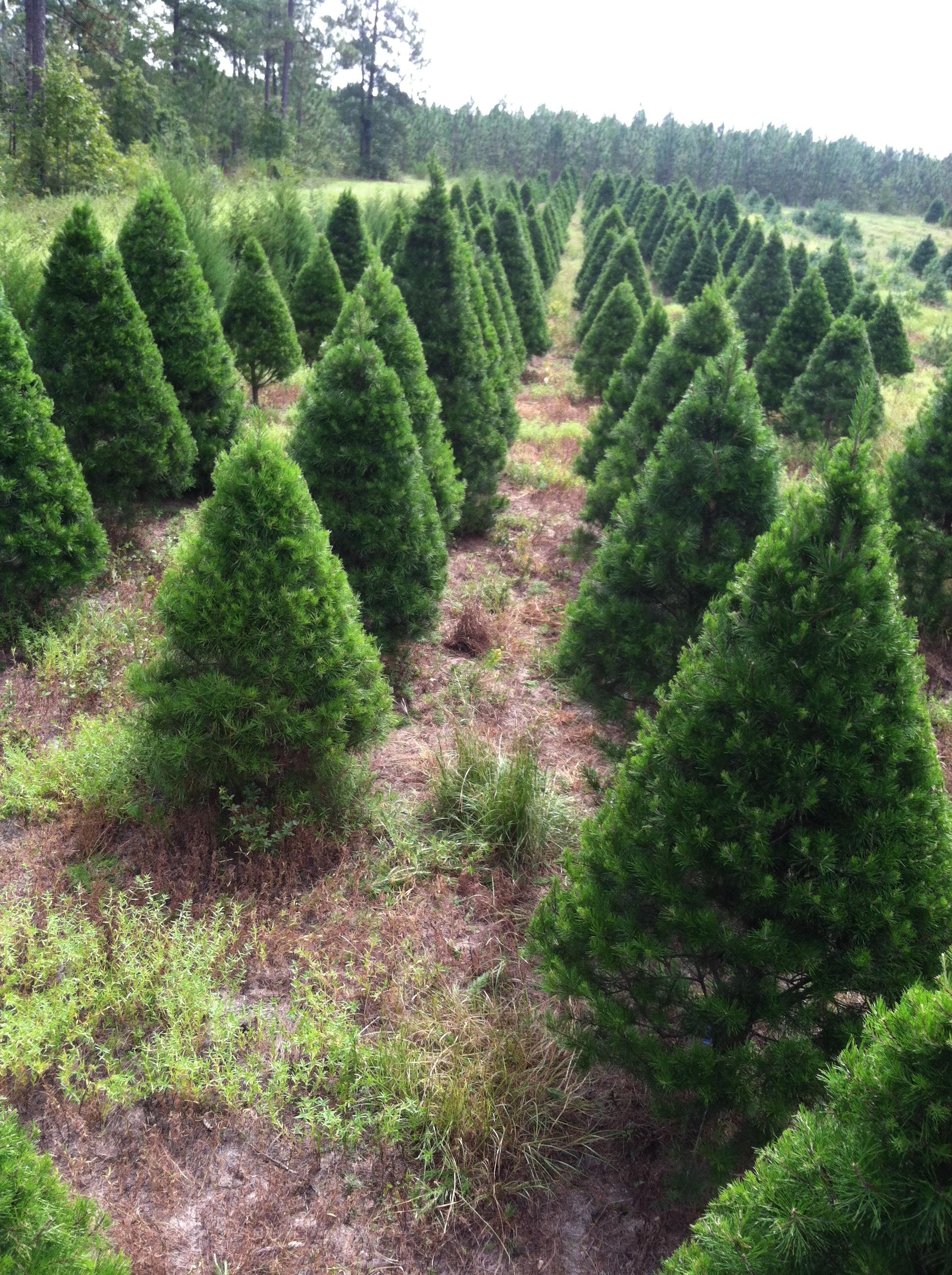 Virginia Pine field