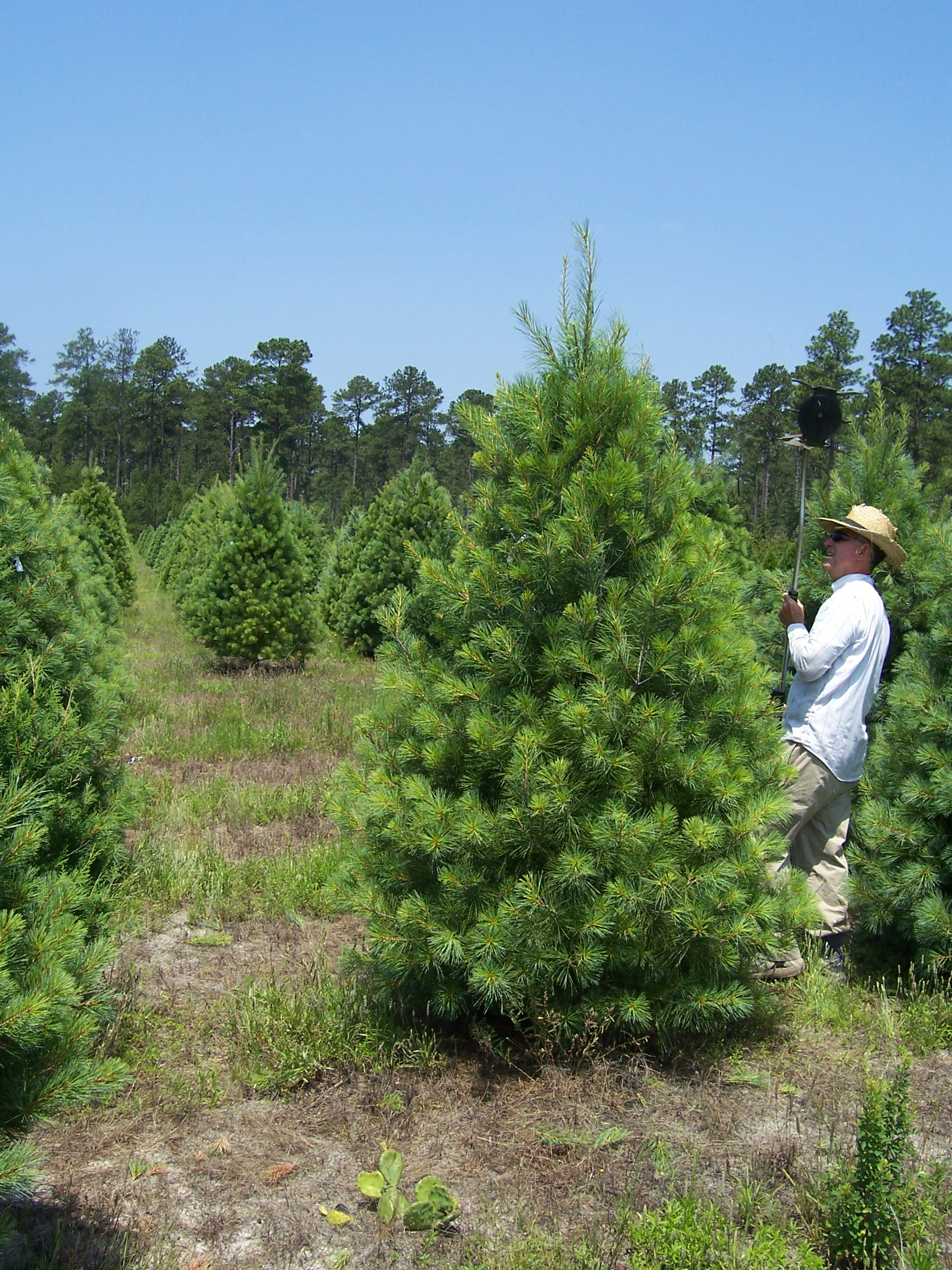 Pretty White Pines, Farmer Tom!