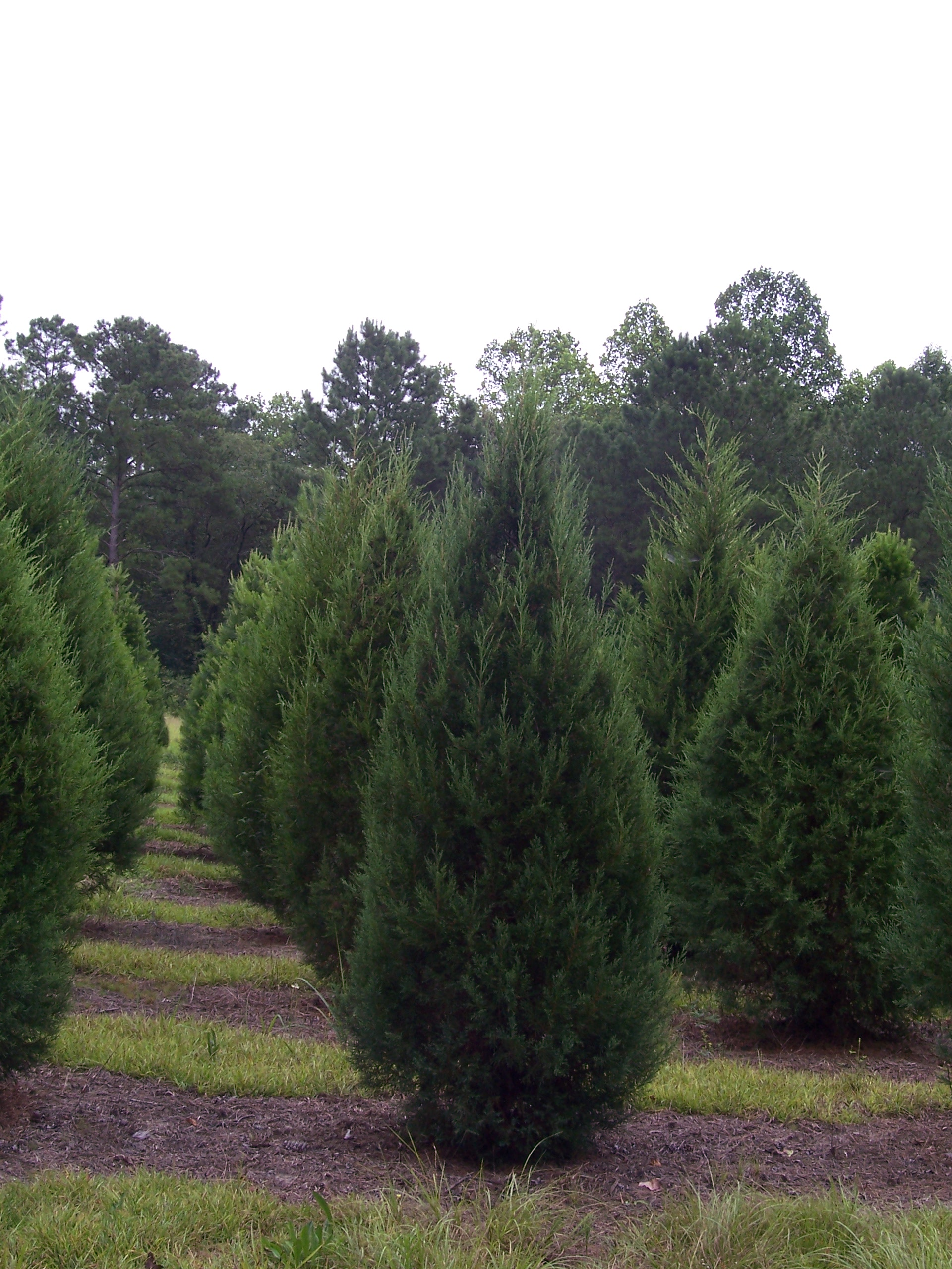 Murray Cypress