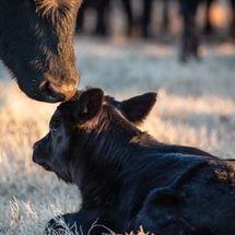 Black Angus cow greets her newborn calf.
