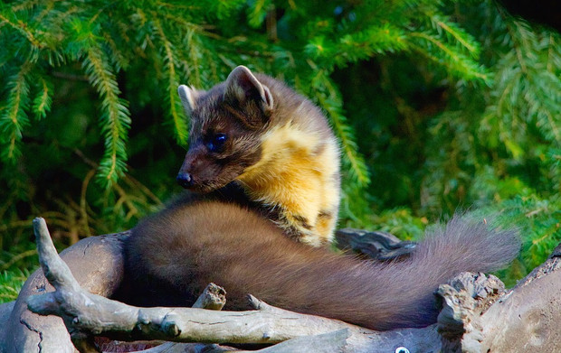 Grief and a pine marten