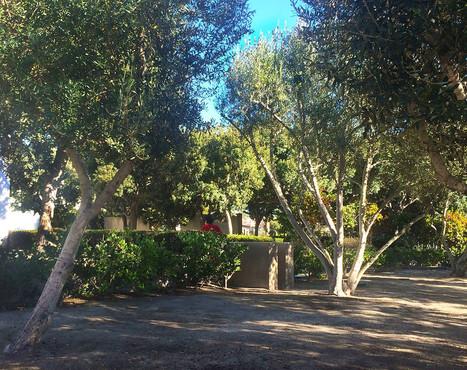 Grove-LJ-Farms-olive-grove-Ryan.jpg