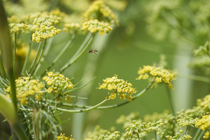 Cunningham-hoverfly-in-dill.jpg