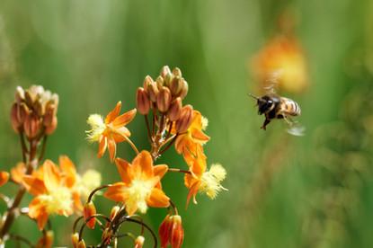 Cunningham-bee-and-bulbine.jpg