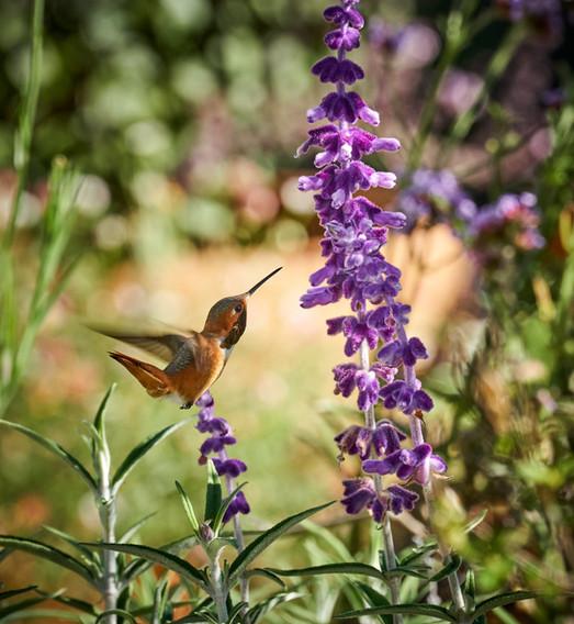 Cunningham-Allens-hummingbird-Mexican-sa