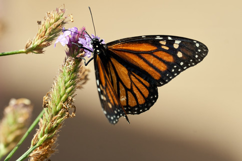 Cunningham-Monarch-butterfly-and-lavende