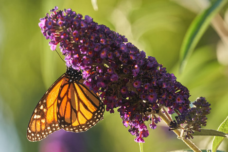 Cunningham-Monarch-butterfly-and butterf