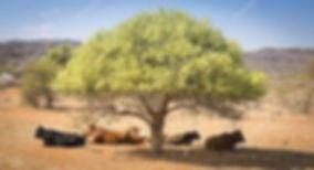 Botswana koe 1.jpg