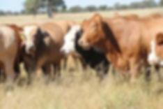 Botswana koe 3.jpg