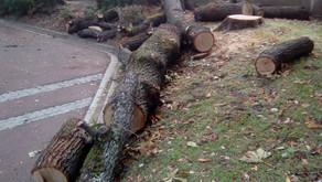 Encore des arbres abattus