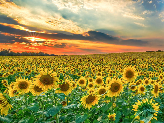 Sunflowers in Monferrato