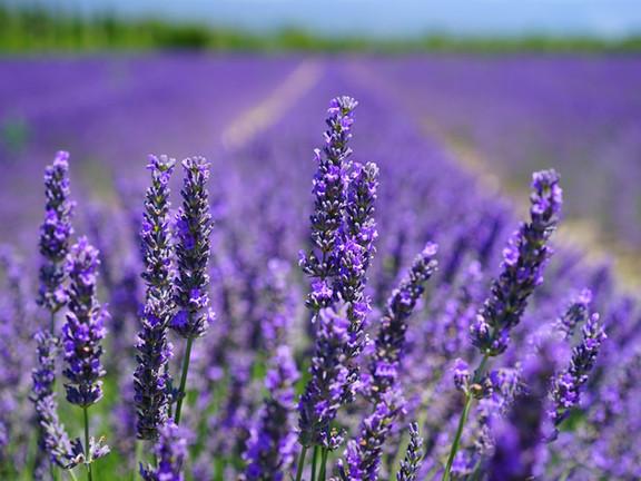 Lavender fields in Monferrato