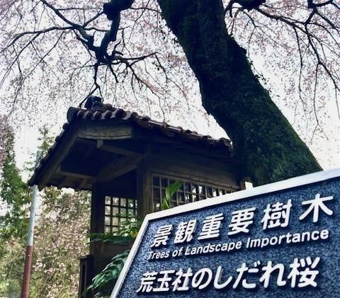 行波 枝垂桜1   撮影:清流 松本