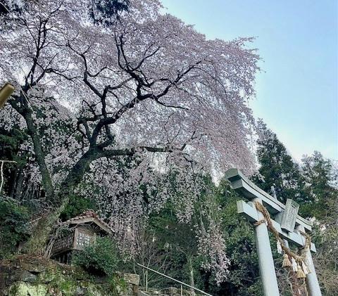 行波 枝垂桜2   撮影:清流 松本