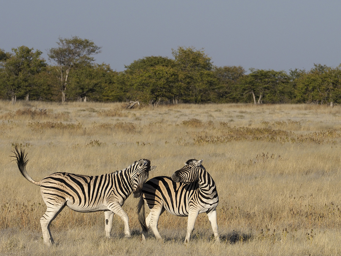 Wildlife - Zebras by Ranjan