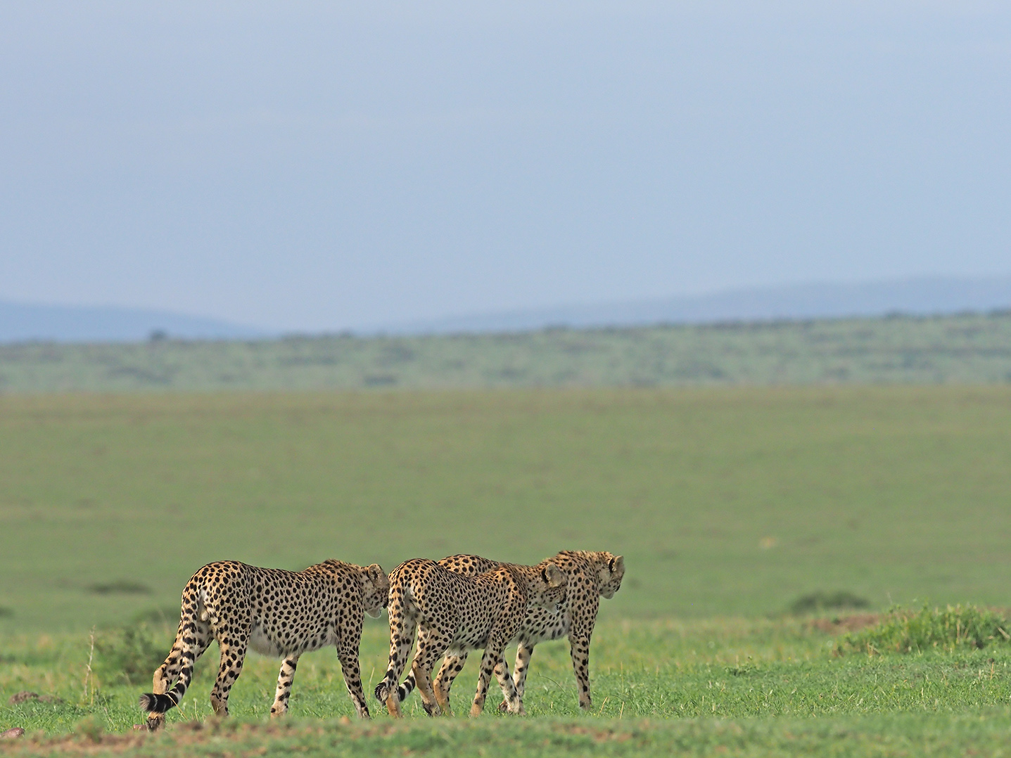 Cheetahs by Ranjan Ramchandani