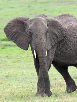 Elephants by Ranjan Ramchandani