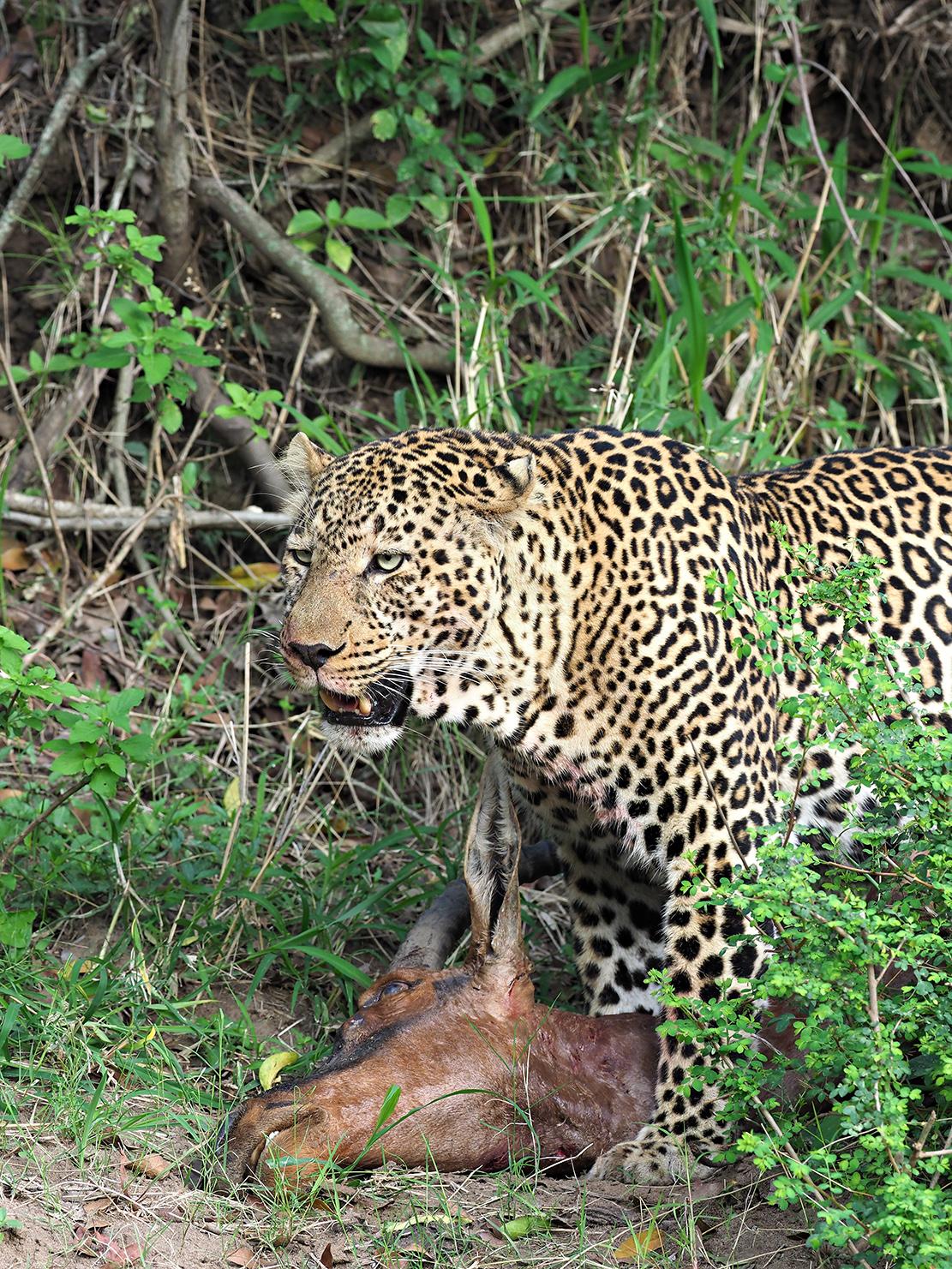 Leopards by Ranjan Ramchandani
