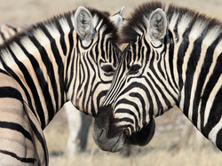 Wildlife - Zebras by Ranjan