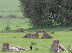 Cheetahs by Ranjan Ramchandani