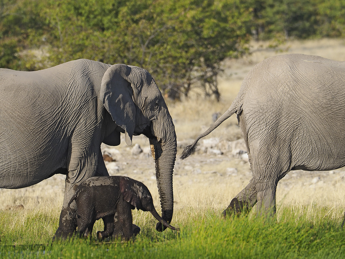 Elephants by Ranjan Ramchandani