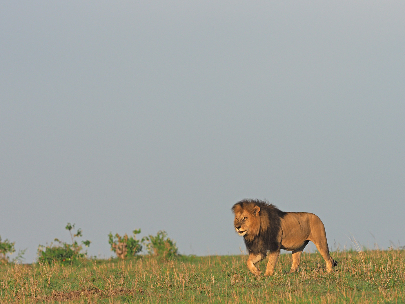 Lions in the wild by Ranjan