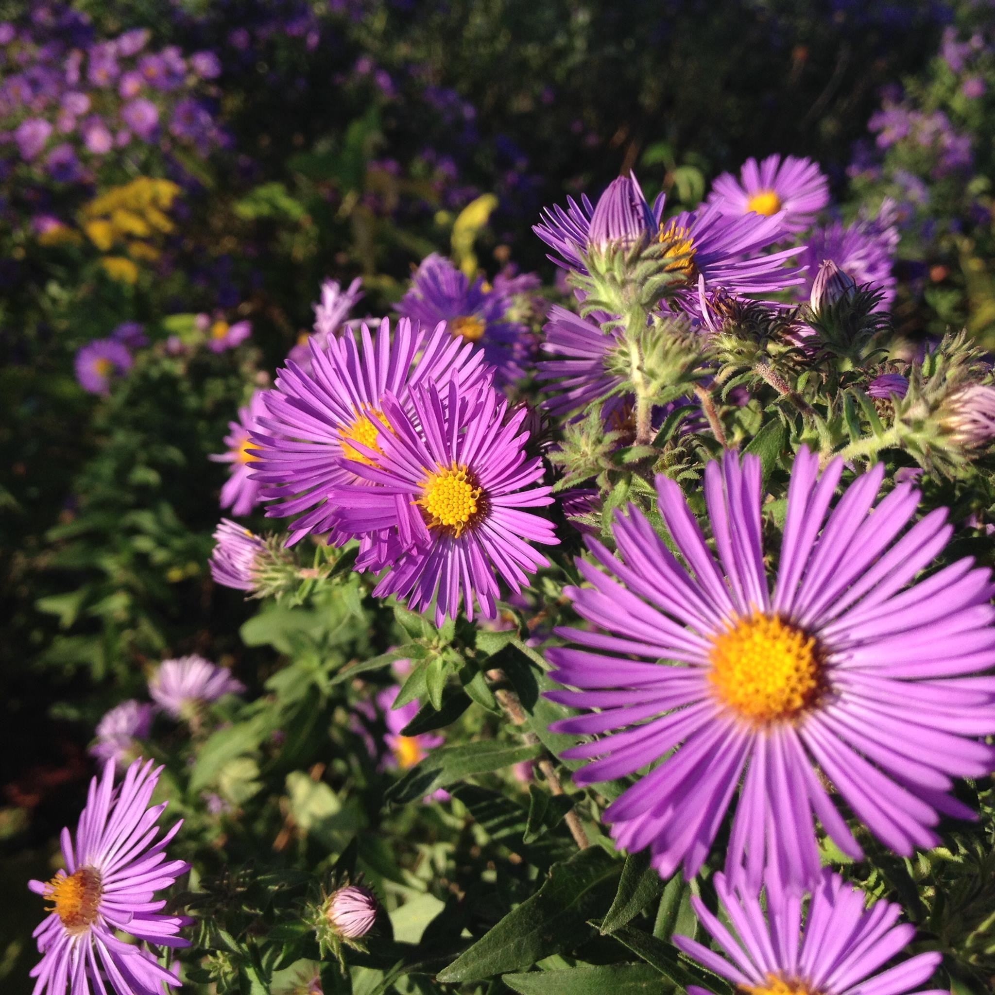 Godfried Prairie Flowers