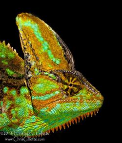 Veiled Chameleon Miami