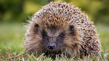 Hedgehogs in your garden
