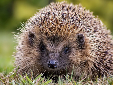 Hedgehogs in your garden