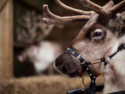 Santa's reindeer visiting Trelissick