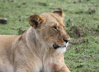 Lioness On A Wildebeest Kill