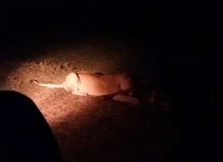 Night Drive Lion Sightings
