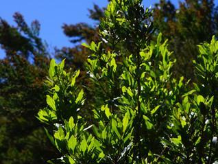 Essential Oil Spotlight - 17 Ways Bay Laurel (Laurel Leaf) Can Help You!