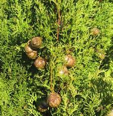 Essential Oil Spotlight - Cypress - (Cupressus sempervirens)