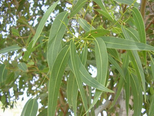 Essential Oil Spotlight - 18 Ways Eucalyptus Can Help You!