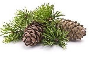 Essential Oil Spotlight - Cedarwood (Juniperus virginiana)