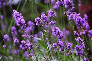 Essential Oil Spotlight - 41 Ways Lavender Can Help You!