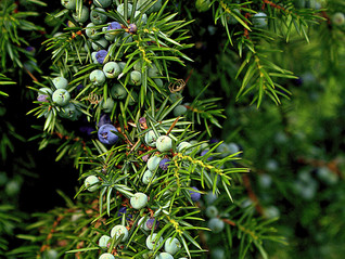 Essential Oil Spotlight - 32 Ways Juniper Berry Can Help You!