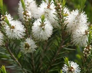 Essential Oil Spotlight - 23 Ways Tea Tree Can Help You!