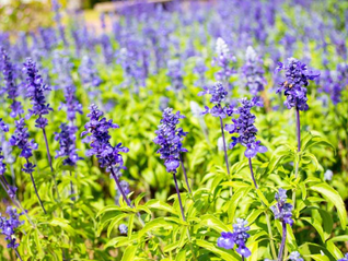 Essential Oil Spotlight - CLARY SAGE (Salvia sclarea)