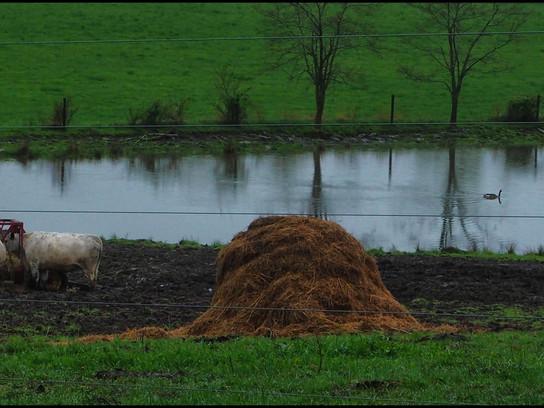 Cows Pond