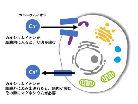 こむら返りの科学③予防【栄養ほか編】