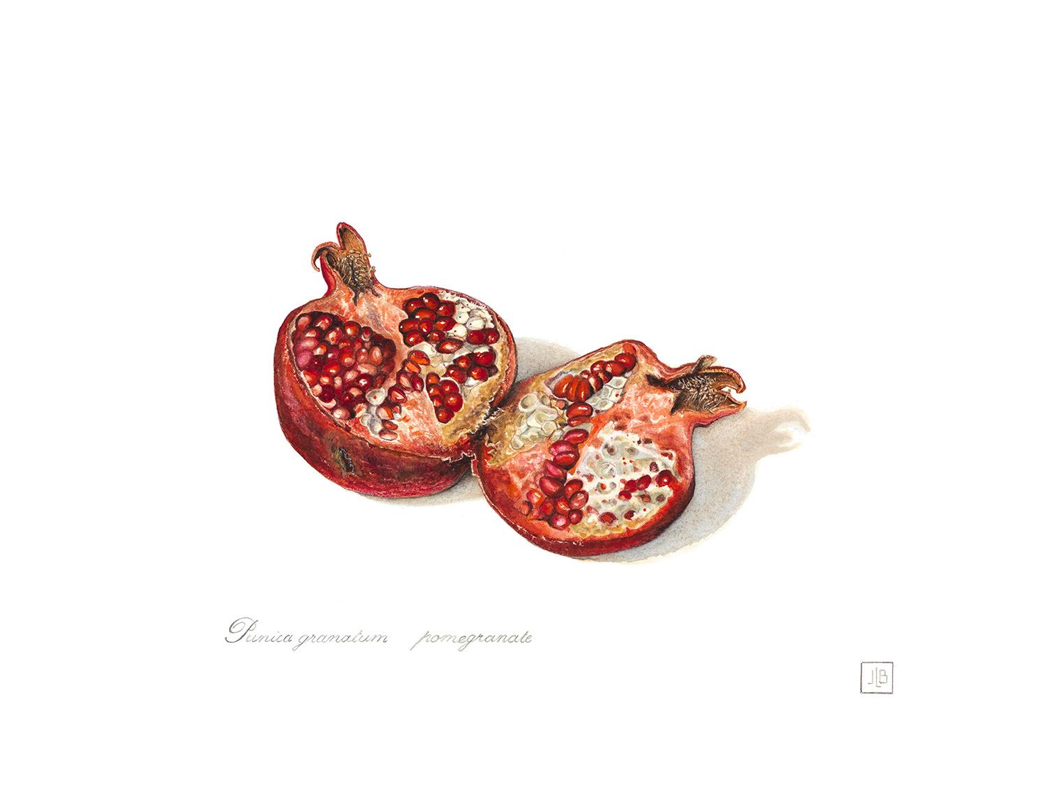 Pomegranate,Punica,granatum