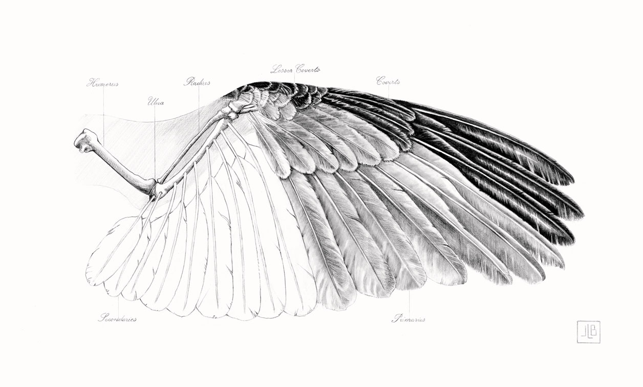 Raven's Wing- Study, 2016